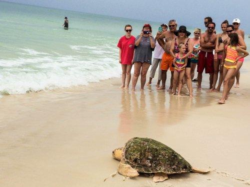 Sea Turtles Panama City Beach The Best Beaches In World